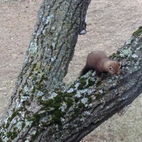 A Pine Marten at the inn