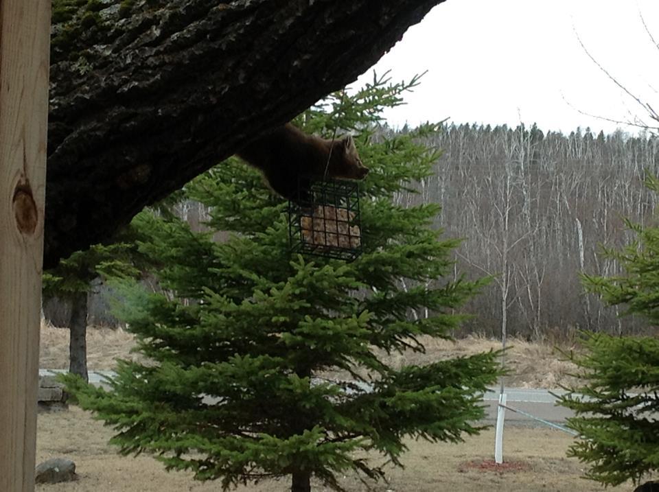 Pine Marten at the suet feeder